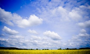 Yellow flower field w blue sky 4624163568_143ea28955_z